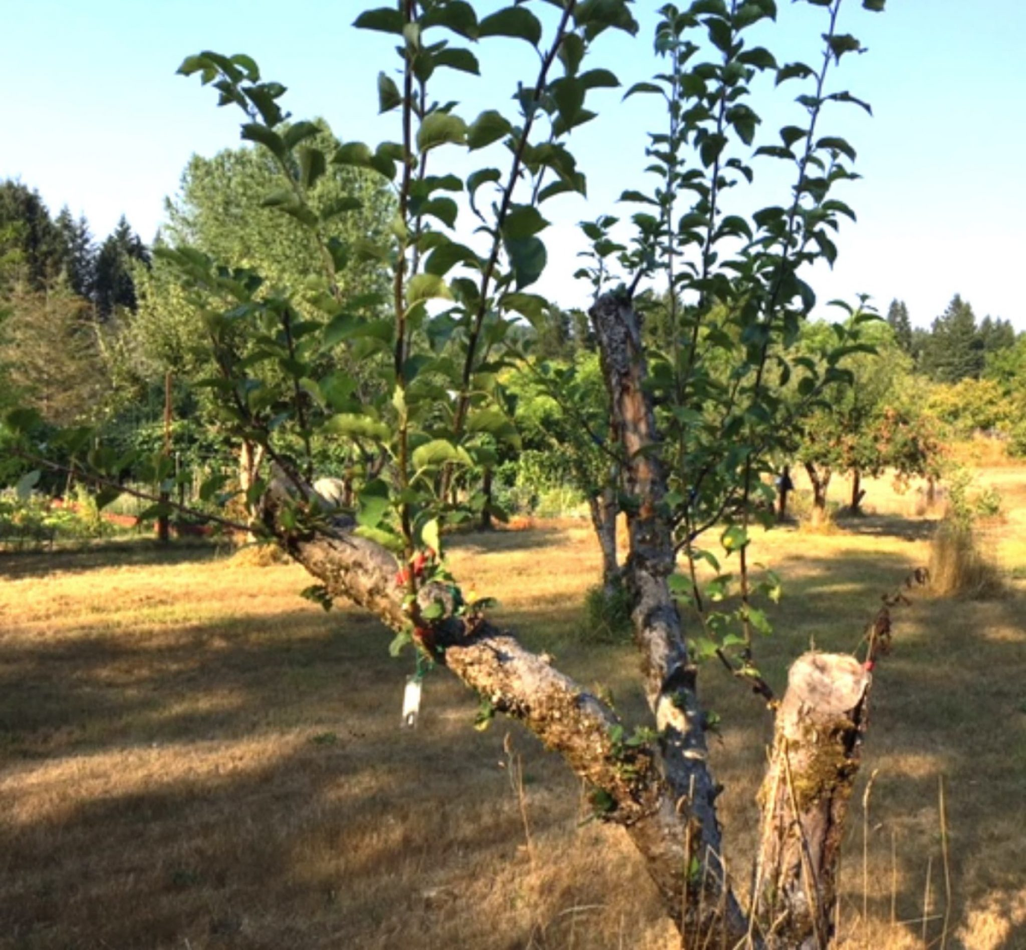 An apple tree sprouts new growth at Johnson Farm, where the BIFC is helping to rehabilitate the orchard.